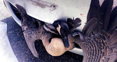 Goose Stuck in Car