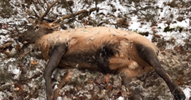 elk killed