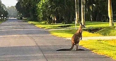 kangaroo escaped