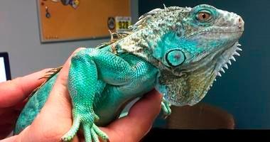 iguana thrown in restaurant