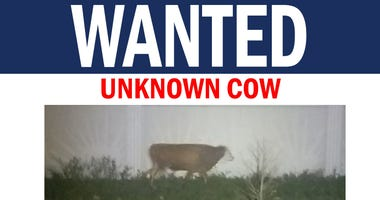 wanted cow