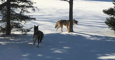 Coyotes in Washington Township