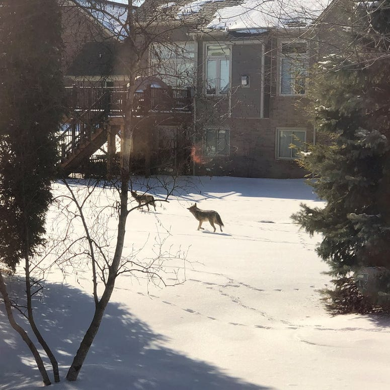 washington twp coyote