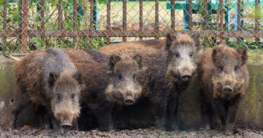 Killer Swine: Feral hogs blamed for Texas woman's death