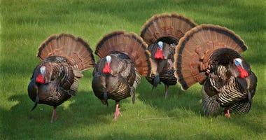 Louisiana has great turkey season