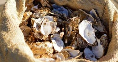 Oyster harvest underway in Alabama