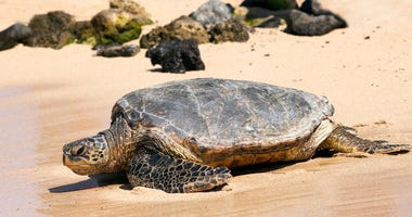 Wild Tortugas recovered from pneumonia, released into Gulf