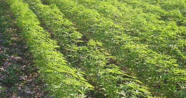 Green waves of hemp...?