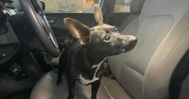 Slidell Chihuahua