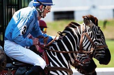 zebra racing