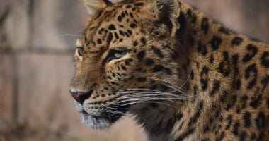 Greenville Zoo grant to be used for a new leopard enclosure