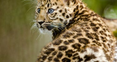 Amur Leopard Cub - Getty Images