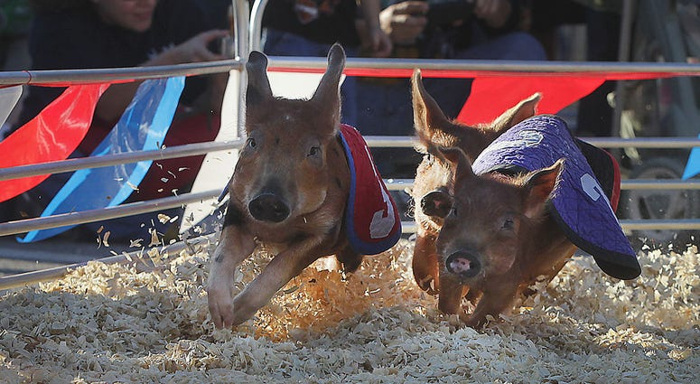 The Swifty Swine Racing Pigs turn the corner during the race to get to the Oreo cookie reward. Animal attractions are a big draw for fair goers at the SC State Fair in Columbia, South Carolina. (Photo by Kim Kim Foster-Tobin/The State/MCT/Sipa USA)