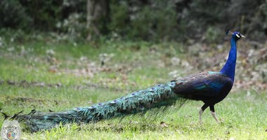 Peacock found by Spartanburg Police