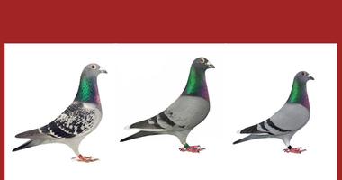 Stolen Racing Homing Pigeons - GCSO