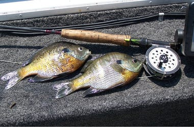 Learn The Basics of Fly Rod Fishing For Bream