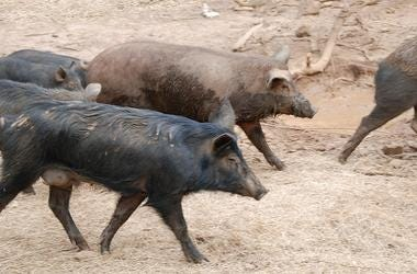 The Truth About Wild Hogs